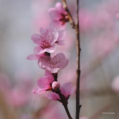 rose printanier (jpto_55) Tags: fleur pêcher rose proxi bokeh fuji fujifilm fujixf55200mmf3548rlmois hautegaronne france printemps ngc flickrunitedaward