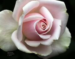 Pink & White Rose. (rumerbob) Tags: longwoodgardens rose rosepinkwhite rosepink macro macroflower macrophotography botany botanicalgardens botanical nature naturewatcher naturephotography canon7dmarkii canon100mmmacrolens
