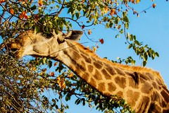 The two go together (Nugohs1) Tags: girafe giraf bird cohabitation africa southafrica afriquedusud kruger sanpark bus wild nature