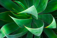 Shawii x Attenuata (Eddie 11uisma) Tags: agave shawii attenuata succulents blue flame abstract
