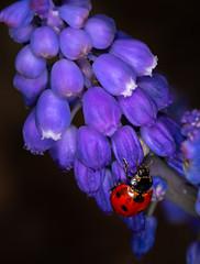 Ladybug on Grape Hyacinth (sethjschubert) Tags: flower grapehyacinth coccinellamagnifica beetle ladybirdbeetle ladybug insect
