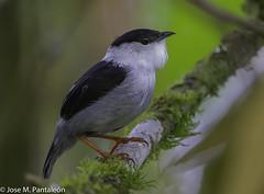 1-El saltarín barbiblanco (en Colombia) , también denominado bailarín blanco (en Argentina y Paraguay), saltarín de barba blanca (en Perú), saltarín maraquero (en Venezuela) o matraquero blanco, es una especie de ave paseriforme del genero Manacus (Cimarrón Mayor 16,000.000. VISITAS GRACIAS) Tags: ordenpasseriformes familiapipridae géneromanacus nombrecientíficomanacusmanacus saltarínbarbiblanco bailarínblanco matraqueroblanco englishnamewhitebeardedmanakin male colombia ave vogel bird oiseau paxaro fugl pássaro птица fågel uccello pták vták txori lintu aderyn éan madár cimarrónmayor panta pantaleón josémiguelpantaleón objetivo500mm telefoto700mm 7dmarkii canoneos canoneos7dmarkii naturaleza libertad libertee libre free fauna dominicano pájaro montañas