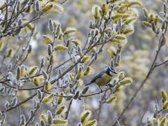....weitergeflattert...... (elisabeth.mcghee) Tags: vogel blaumeise blue tit cyanistes caeruleus weide willow catkin weidenkätzchen salix bird oberpfalz unterbibrach upper palatinate