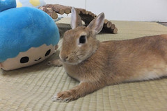 Ichigo san 1513 (Errai 21) Tags: いちごさんとキキ ichigo san  キキ ichigo rabbit bunny cute netherlanddwarf pet ウサギ うさぎ いちご ネザーランドドワーフ ペット 小動物  ichigo 1513