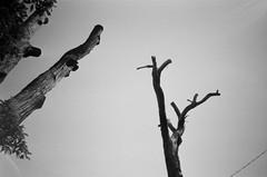 Stark dead trees (Matthew Paul Argall) Tags: hanimex35es fixedfocus focusfree 35mmfilm blackandwhite blackandwhitefilm 100isofilm kentmerepan100 deadtree