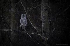 The Great Gray (Khurram Khan...) Tags: wildlife wildlifephotography wild wwwkhurramkhanphotocom winter birdsofprey khurramkhan iamnikon ilovenature ilovewildlife