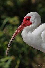 White Ibis (TomLamb47) Tags: nature wildlife bird whib white ibis gatorland florida fl canon 7d2 100400mm