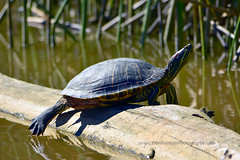 Red-eared_Slider_Turtle_01 (DonBantumPhotography.com) Tags: wildlife nature animals birds donbantumcom donbantumphotographycom redearedsliderturtle reptile pond water