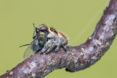 Lunch Is Served (Gary Stamp cPAGB) Tags: canon jumpingspider prey macro