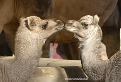 Camel Farm Bikaner, Rajasthan (Sekitar) Tags: rajasthan india indian asia southasia south nature animal alam camel farm bikaner