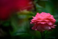 Sweet Dreams to You (NathalieSt) Tags: europe france hautsdefrance nikon nikond750 nikonpassion nikonphotography noyon oise picardie fleur flower rose pink