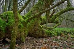 Im Oberwald (nordelch61) Tags: deutschland hessen heimat darmstadt oberwald totholz moos stamm äste zweige frischesgrün wald forest trees fairytale enchanted märchenhaft