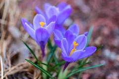 myyard2019-11 (gtxjimmy) Tags: sonya7ii sony alpha a7ii mirrorless massachusetts spring newengland flower crocus