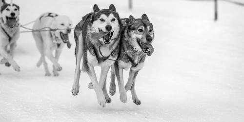 Dog-Sled Racing - 1, BW
