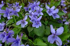 Violer (Steenjep) Tags: natur nature viol blomst flower blue blau makro macro closeup wild