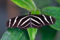 magicwings2019-53 (gtxjimmy) Tags: sonya7ii sony alpha a7ii butterflies butterfly insect bug magicwings deerfield massachusetts newengland