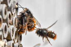 Osmia cornuta 190320 066.jpg (juergen.mangelsdorf) Tags: braunschweig insektenhotel naturschutzgebietriddagshausen niedersachsen nisthilfe weddel wildbiene insect macro nature
