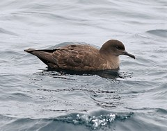 Ardenna grisea 2 (Manning and Hastings Birds) Tags: pelagic birds macleay valley south west rocks nsw barry m ralley barrymralley ardenna grisea sooty shearwater