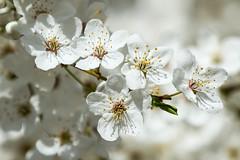 Mirabellenblüte (gutlaunefotos ☮) Tags: mirabellen blüte