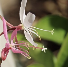 Gaura Flowers In My January Garden (Chic Bee) Tags: macro gaura flower inmygarden tucson arizona southwesternusa americansouthwest northamerica flowers dof
