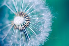 a Little Zen (icemanphotos) Tags: dandelion spring zen summer soft blue nature dreamy