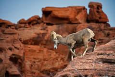 Bighorn Descent (Rob McC) Tags: bighorn oviscanadensis sheep fauna mammal animal rock sandstone horn nevada usa