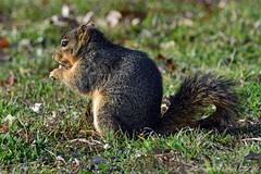 FOX SQUIRREL 16 (k.nanney) Tags: easternfoxsquirrel foxsquirrel sciurusniger squirrel texasmammals texaswildlife irving texas tx dallascounty townlakepark nikon d750 nikkor300mm afsnikkor300mmf4difed tc17eii kennethnanney kennanney nanney kenmorecamera