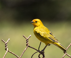 Safranfink (rooibusch) Tags: finch fink hawaii bird vogel oahu zaun yellow gelb