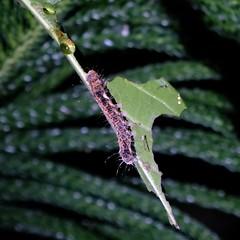 Caterpillar (theq629) Tags: animal insect caterpillar taiwan taipei fuyangecopark 富陽自然生態公園