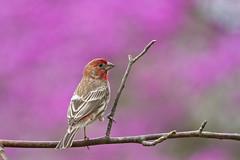house finch purple bokah (G_Anderson) Tags: house finch missouri yard birds birding bokah redbud spring blooming