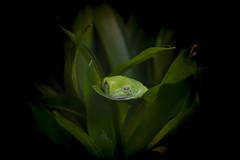 korallenfinger-laubfrosch (mwo_w_GERMANY) Tags: litoria caerulea laubfrosch frosch grün green frog mario wolff mwoaqwode wwwmwopicscom aqwocom mwopics
