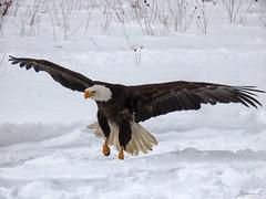 Bruce Bald Eagle CRC IMG_3299 (Jennz World) Tags: ©jennifermlivick canadianraptorconservancy vittoria ontario canada baldeagle eagle raptor bird winter snow