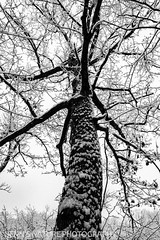 Snow Tree (webmastermama71) Tags: snow snowyday snowstorm snowyweather tree branches blackandwhite blackandwhitephotography loudouncounty leesburg goosecreek