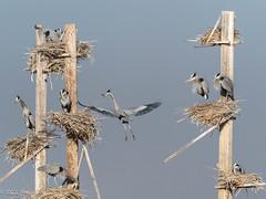Nest Building Time (Chub G's M&D) Tags: avian birding aves rookery ardeaherodias birds greatblueheron farmingtonbaywma nestbuilding utah birdphotography daviscounty