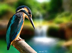Common Kingfisher Bird (maom_1 (Off, most of the time)) Tags: birds cascade landscape stream digital blending
