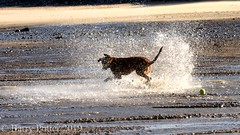 """Bracken splash"" (Barry Potter (EdenMedia)) Tags: barrypotter edenmedia nikon d7200 bracken dog"