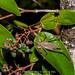 2012-07-08 TEC-0453 grasshopper feeding Miconia albicans berries - E.P. Mallory