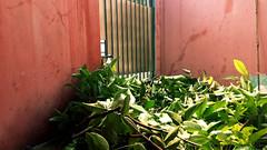 Ranting Pohon Patah / Broken Tree Branches (setiawanap) Tags: setiawanap setiawanapvlog indonesia tanaman tumbuhan daun bunga buah batang plants tree leaf flower fruit ranting patah broken branch