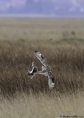 the winner takes it all (blackfox wildlife and nature imaging) Tags: nikon d300s sigma150600c shortearedowl birds birdofprey bif deeestuary raptor rspb wildlife wirral