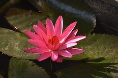 Lotus in full bloom (s_tapati) Tags: flowers flowerpower flowersandcolors bloom flora wildflowers lotus naturelover nature beautyofnature pinklover