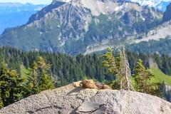 Mountain Ground Squirrel (diego.rzg) Tags: mountrainier mtrainier mtrainiernationalpark rainier washingtonstate seattle pnw pacificnorthwest explorewashington pnwisbest mountaintime optoutdoors nature nationalpark nps upperleftusa naturelovers mountaineering natureperfection squirrelsofinstagram mountainsquirrel squirrel pnwdiscovered pnwlife pnwisbeautiful pnwphotographer thatpnwlife pnwphotography washington diegogomez