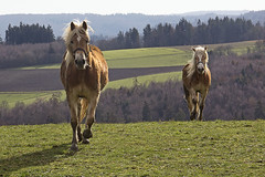 Ausgelassene Haflinger - High-spirited Haflinger (heinrich.hehl) Tags: landschaft natur tiere pferde haflinger weide wald äcker fields forest pasture horses animals nature landscape winter