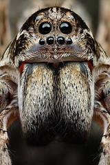Wolf spider (Portrait) (michael doe (Project Maratus)) Tags: canon canonmpe65mmf2815xmacrophoto canon1dxmarkii mt24ex macro wolfspider lycosidae portrait australia