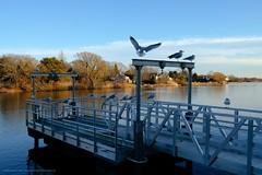 Cleared for Landing (John Galvin) Tags: velvia fuji fujifilm xpro2 fujinonxf23mmffrwr dock birds water seagull gull