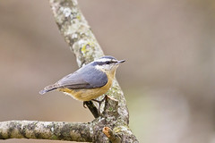 nuthatch perched 2 ( explore ) (G_Anderson) Tags: nuthatch missouri winter birding backyard