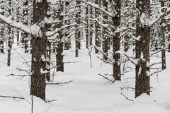 'Snowshoes Required' (Canadapt) Tags: snow winter black spruce trail keefer canadapt