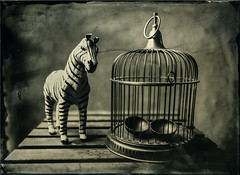 Out of the Cage (Blurmageddon) Tags: largeformat wetplatecollodion alternativeprocess newguycollodion osaka120mmf63 senecaimprovedview 5x7 epsonv700 johncofferdeveloper alumitype tintype zebra cage