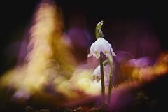 PRIMOTAR 135mm f/3.5 (florence.richerataux) Tags: primotar135mmf35 nivéoles macro m42 vintage lens optical fuji xt1 bokeh nature bulles bubbles objectif ancien jardin extérieur fleurs insectes plantes botanic florence richerataux pdf dof couleurs printemps été automne hiver spring summer autumn winter bois forêt wood forest lumière naturelle saison