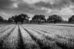 the crop (Mr. Greenjeans) Tags: field crops rows louisiana trees bw blackandwhite clouds sugarcane