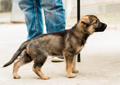 2019-03-02, Mel x Dezi Purple Female-1 (Falon167) Tags: gsd germanshepherddog german shepherd dog puppy mel dezi melxdezi litter bessie puppies